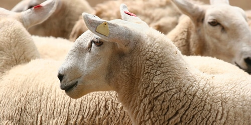 Actisaf® helps improve flock performance from forage