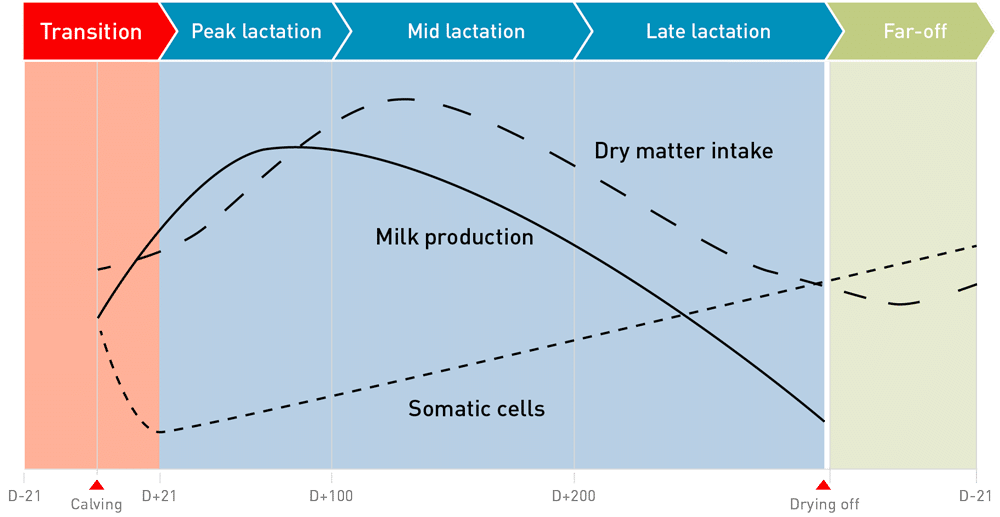 Lactation cycle in dairy cow