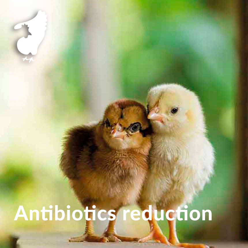 antibiotics reduction broilers