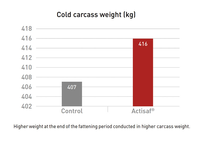 cold carcass weight beef