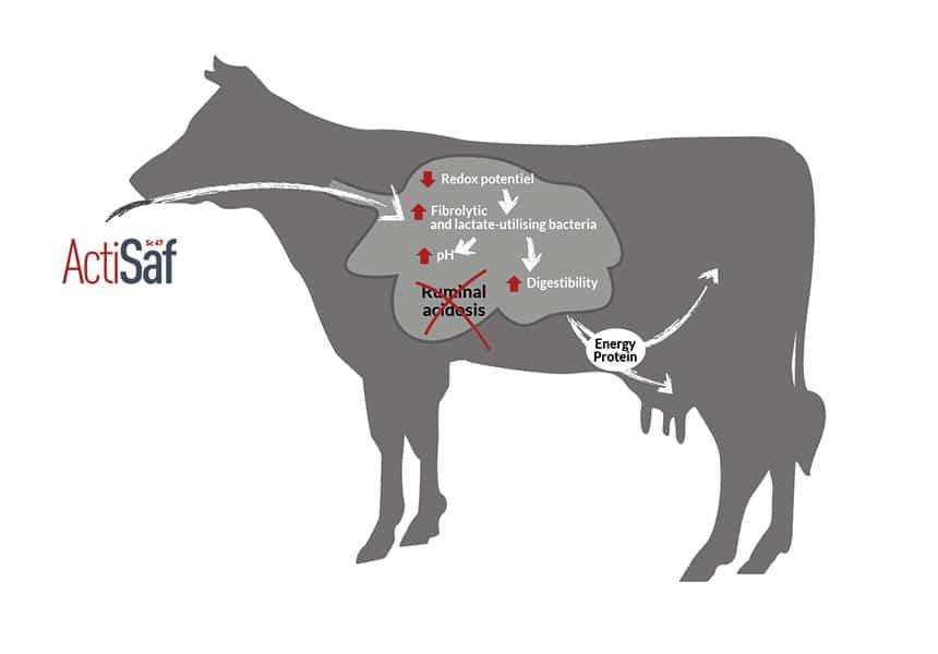ganado lechero acidosis alimento balanceado