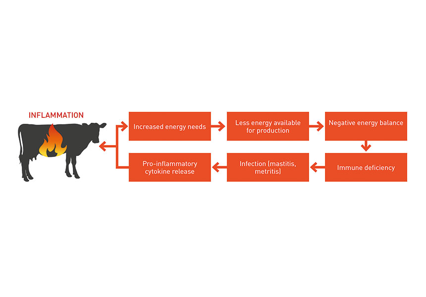 cows inflammation leaky gut