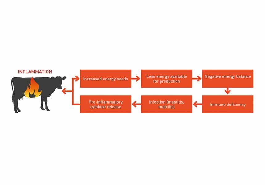vacas inflamación intestino permeable