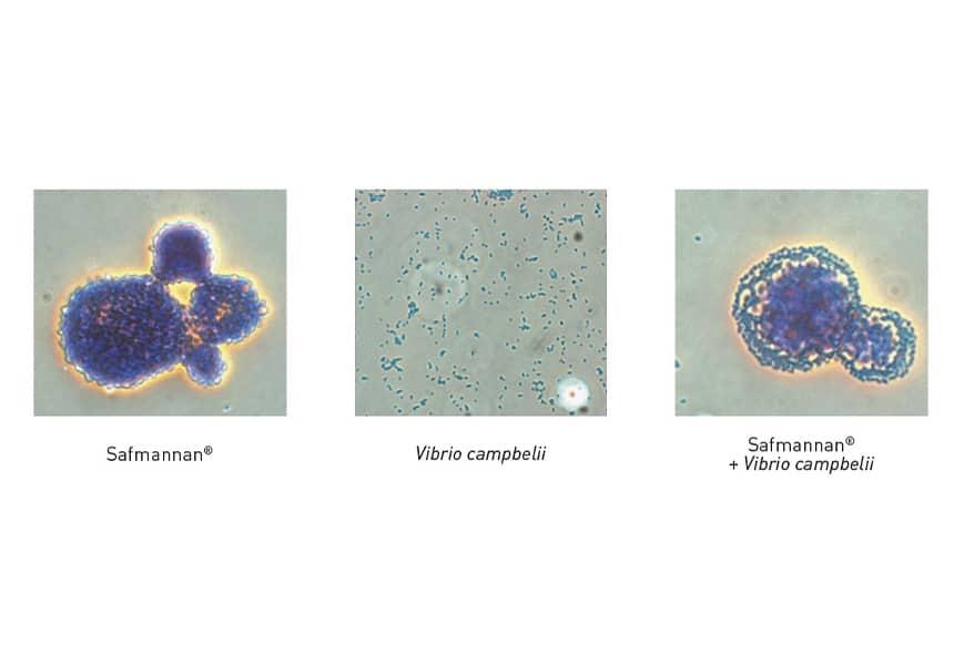 acuicultura prevención de enfermedades Safmannan