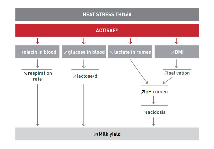 dairy stress heat