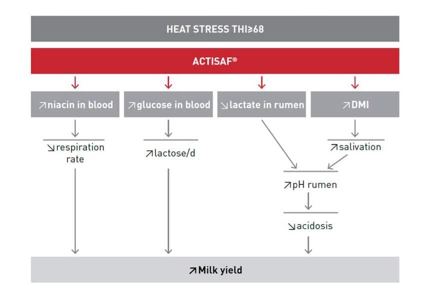 ganado lechero estrés por calor