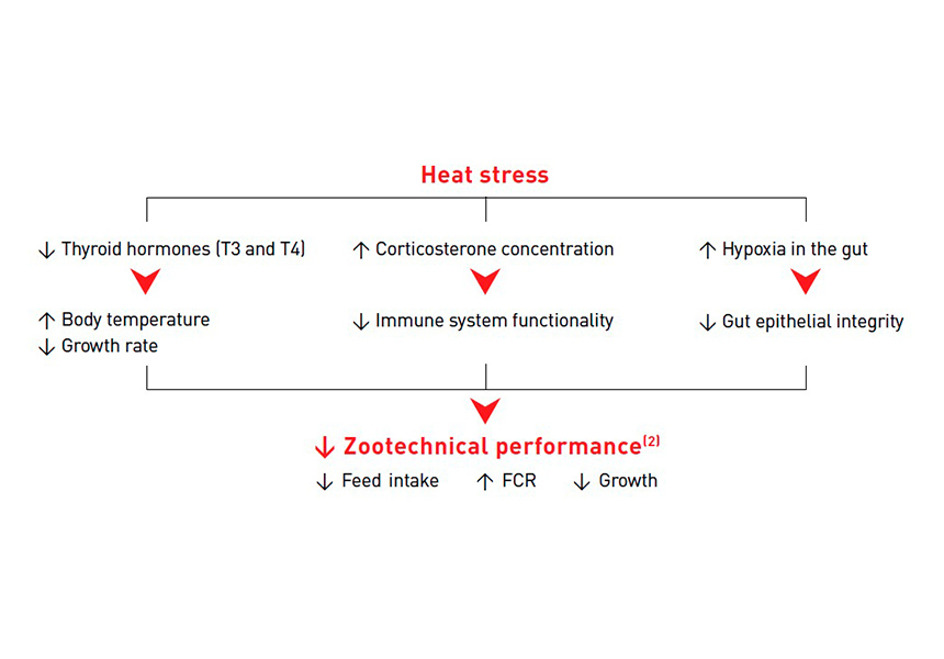 Broilers Heat Stress