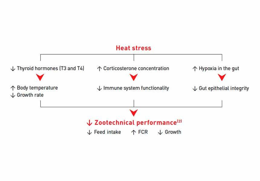Pollo de engorde estrés por calor