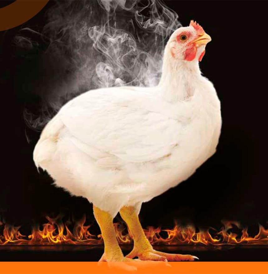 estrés por calor pollo de engorde
