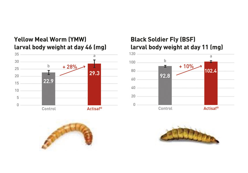 insects yellow meal worm black soldier fly