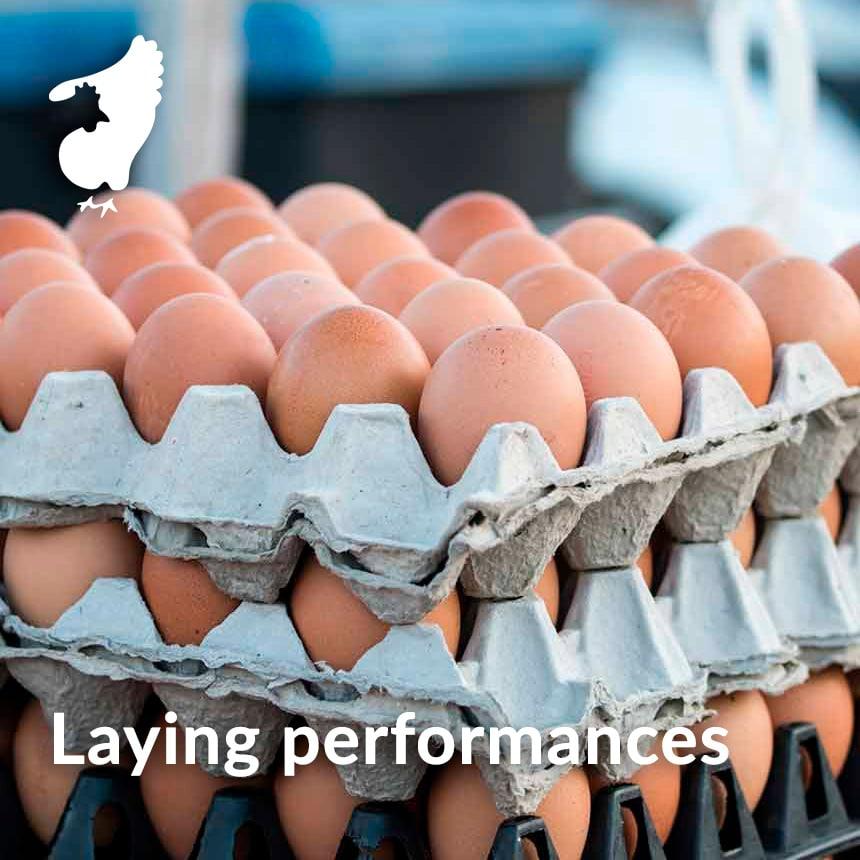 laying performance