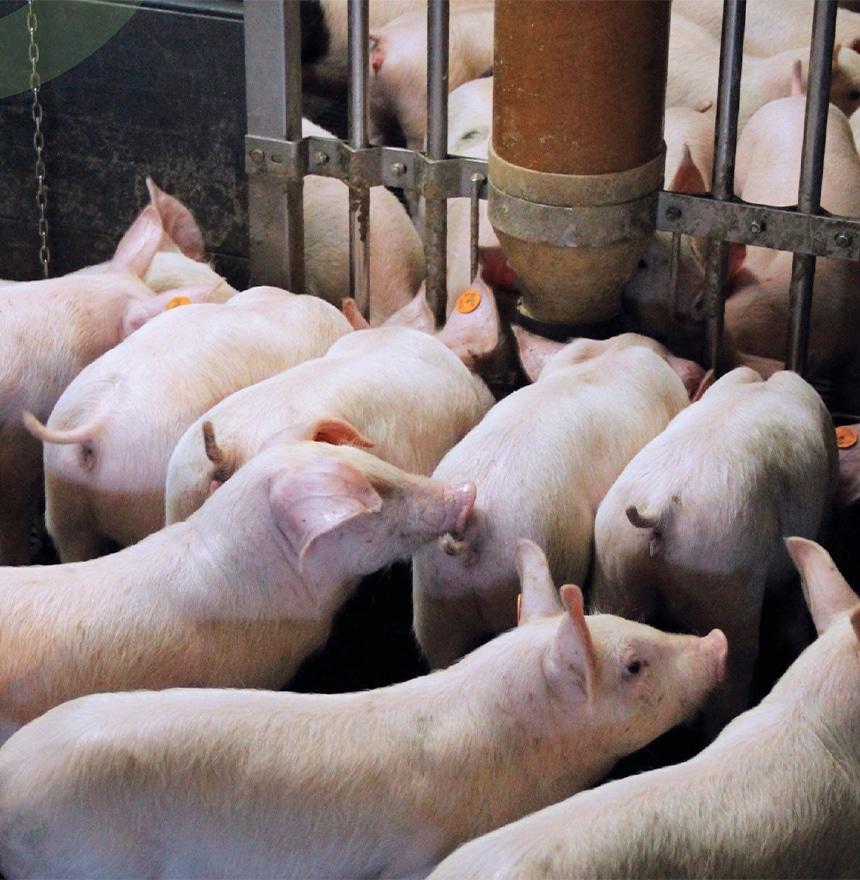 Piglets-gut-health