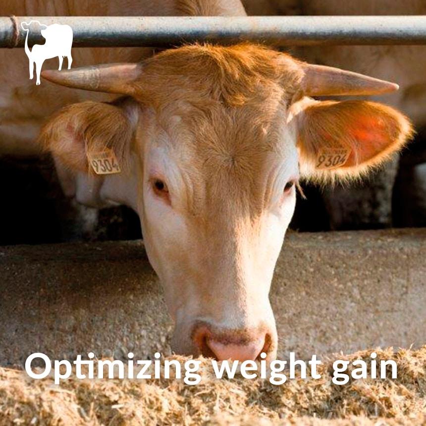 weight beef gain