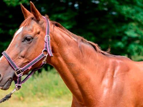 Actisaf poney