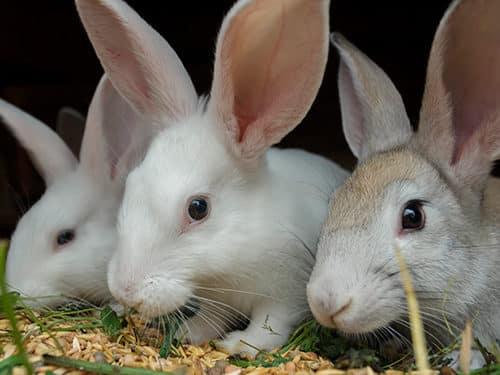 rabbits phileo