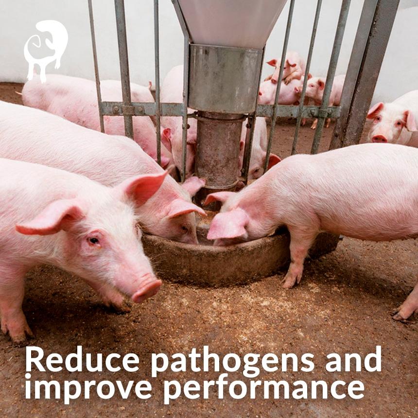 Starter-pig-reduce-pathogens
