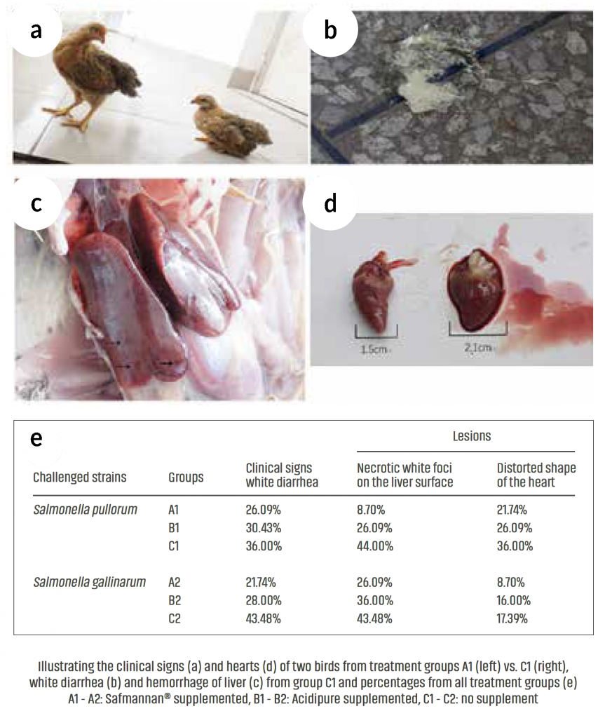 poultry pullorum disaease phileo