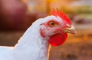 poultry phileo