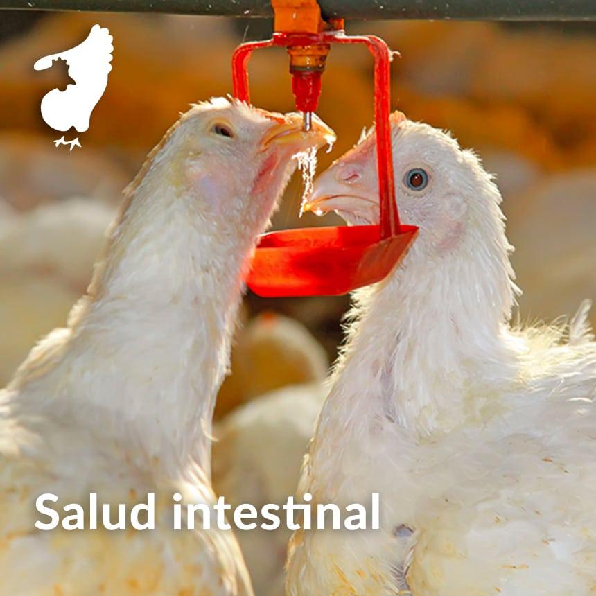 Manejo-de-la-salud-intestinal-en-pollos-de-engorde