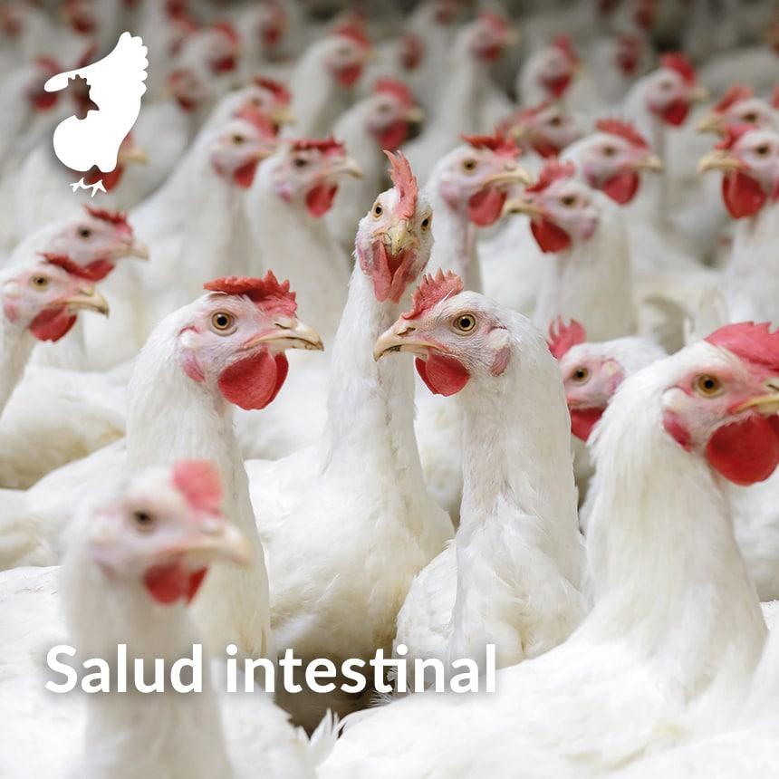 Ponedoras-salud-intestinal-modulacion-de-la-microbiota