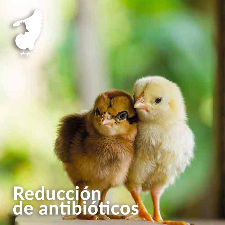 Reduccion-de-antibioticos-en-pollo-de-engorde