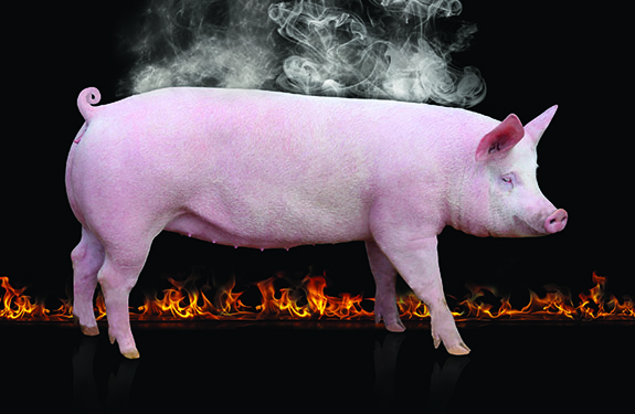 heat stress swine