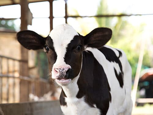 Phileo by Lesaffre granted EU Renewal authorisation for Actisaf®Sc47 for calves for rearing