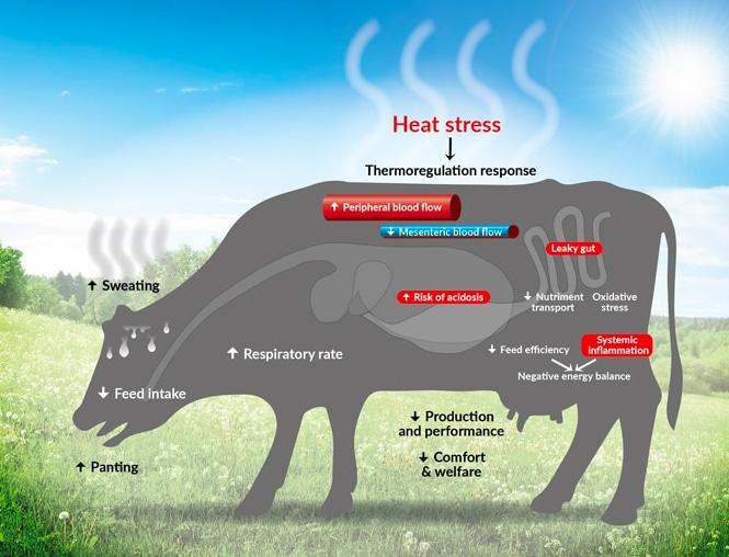 Heat Stress Dairy