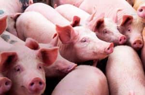 Swine Phileo