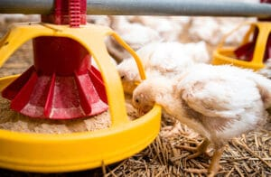 Poultry nutrition
