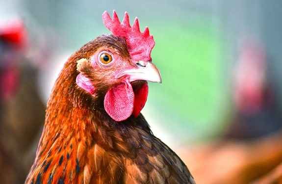 poule poultry phileo